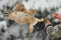 Landing tawny owl on falconry's arm with glove - stock photo