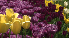 Yellow and purple tulips Stock Footage