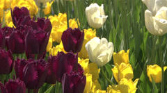 Red, yellow, and white tulips on a bright sunny day Stock Footage