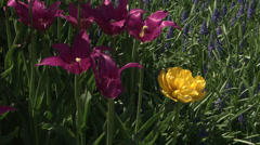 Purple flowers and a lone yellow flower Stock Footage