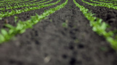 Young Sugar beet plants in rows on a field Stock Footage