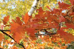 Oak leaves in the autumn - stock photo