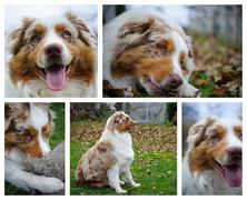 Mix of australian Shepherd photos with detail, portrait, closeup view and whole  Stock Photos