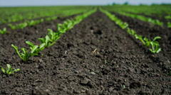 Field with sugar-beet - stock footage