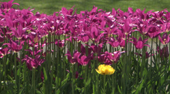 One yellow flower among purple Stock Footage
