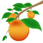 Stock Illustration of apricot branch