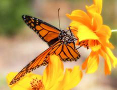 Stock Photo of Migrating Monarch Butterlies in Autumn