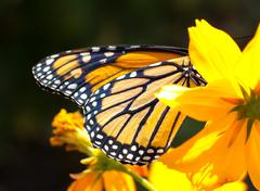 Migrating Monarch Butterlies in Autumn - stock photo