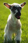 easter lamb - stock photo
