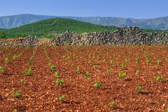 New vineyards, north of Hvar island, Croatia - stock photo