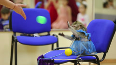 Trained monkey in costume sits on chair and catches balls Stock Footage