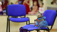 Trained monkey in costume sits on chair and catches rings Stock Footage