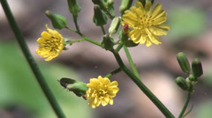 Small Yellow Flowers With Insect Emerging Behind Leaf Stock Footage
