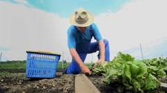 Man Harvest Salad Vegetable from Garden Stock Footage