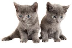 Blue eyed grey kittens on white - stock photo