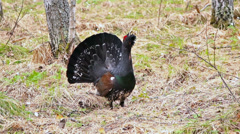 Capercaillie in the forest. 1280x720 Stock Footage