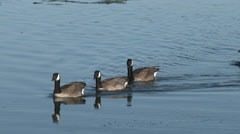 Canada Geese swim in a row on a lake. 4K, UHD Stock Footage