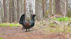 Capercaillie forest guards. 1280x720 Stock Footage