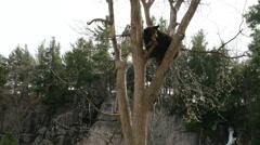 4K Bear Cub Sat In A Tree Stock Footage