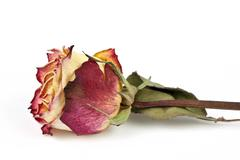 Dried rose, isolated - stock photo