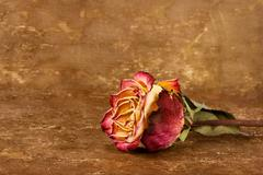 Dried rose on leather background - stock photo