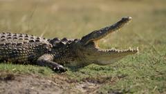 Crocodile with mouth wide open Stock Footage