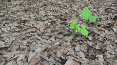 Small plant growth up in between dry leafs Stock Footage