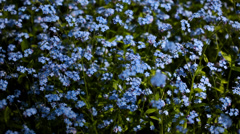 FullHD video of field with forget-me-not flowers Stock Footage