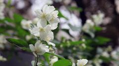 Beautiful  Jasmine shrub, Jasminum, blooming Philadelphus flowers, close up Stock Footage