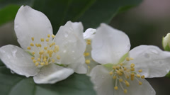 Rain drops on beautiful Jasmine, blooming Philadelphus flowers, macro Stock Footage