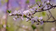 Sunlit white cherry blossom trusses with yellow stamens and new green leaves Stock Footage