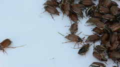 Brown coleopteran beetles swarming around in pile Stock Footage