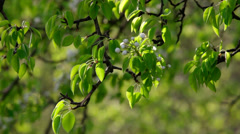 A sunlit pear branch with blossom truss and new leaves Stock Footage