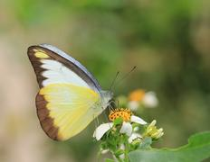 Butterfly and blooming flowers, Appias lyncida eleonora Stock Photos