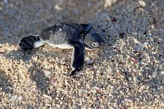 Green Sea Turtle Hatchling Stock Photos