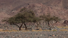 Acacia trees in the rocky desert near Hurghada, Egypt Stock Footage