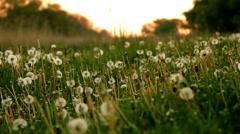 Dandelion field at sunrise. twilight, dew, frost Stock Footage