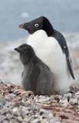 Stock Photo of family adelie penguins.