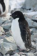Adult adelie penguin, which begins to molt. Stock Photos