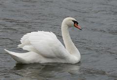 Mute swan (cygnus olor). Stock Photos