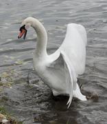 mute swan attacks. - stock photo