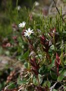Stellaria among the dwarf birchessredi. Stock Photos