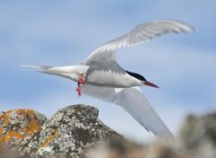 antarctic tern flies. - stock photo