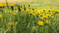 Stock Video Footage of  Yellow dandelions early rays of the sun glide camera move 1
