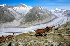 mountain goat on a background of the glacier aletchs - stock photo
