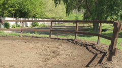 Bay horse running in a circle on the arena Stock Footage