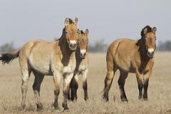 Herd of przewalski's horses in the ukrainian steppes. Stock Photos