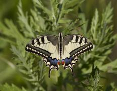 Swallowtail feeding on a meadow. Stock Photos