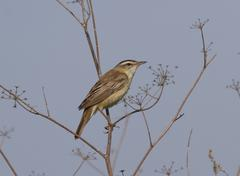 male sedge warbler (acrocephalus schoenobaenus). - stock photo