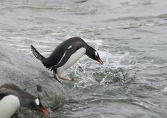 gentoo penguin before jumping into the water. - stock photo